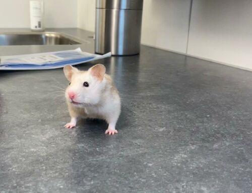 Lilly de hamster